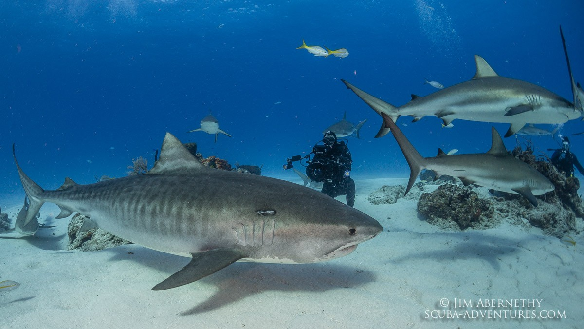 Roger and Tiger Shark