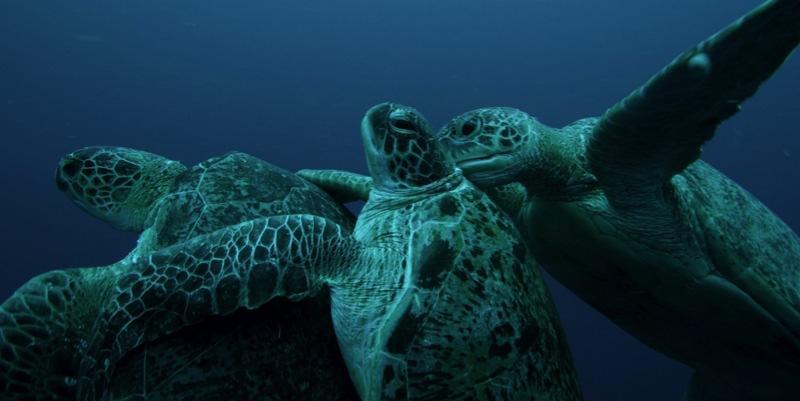 Green Turtles mating at Sipadan