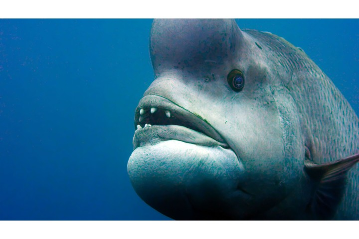 A male Kobudai (Asian Sheephead Wrasse), Japan. One of the ugliest nad most charismatic animals I've worked with - (C) BBC NHU - Photographer: Screen Grab